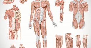 👆 Сколько мышц в теле человека, виды, функции, анатомия, схема на теле человека